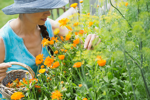Woman picking calendula flowers in garden