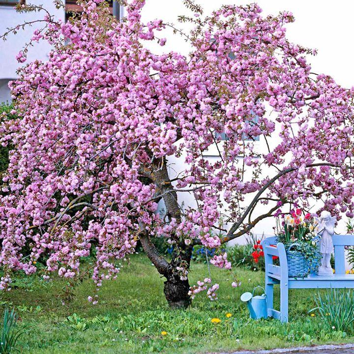 вишна, дърво, череша