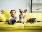 boy sitting on yellow sofa with welsh corgi dog and scottish fold cat