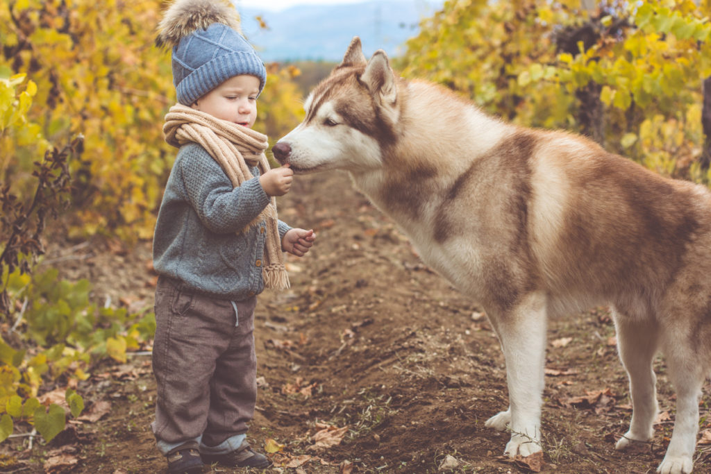 Pretty baby boy is wearing knitted winter clothes walking in autumn vineyrad with husky dog
